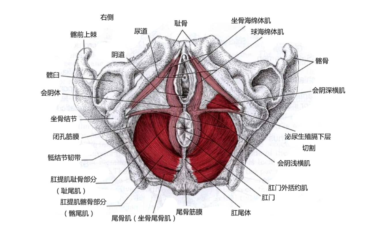 盆底肌解剖课堂
